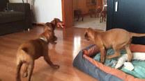 Walka gromady szczeniaków o zabawkę. Który wygra?
