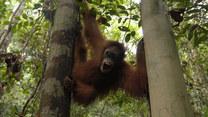 Walka o uratowanie i przedłużenie życia orangutanom