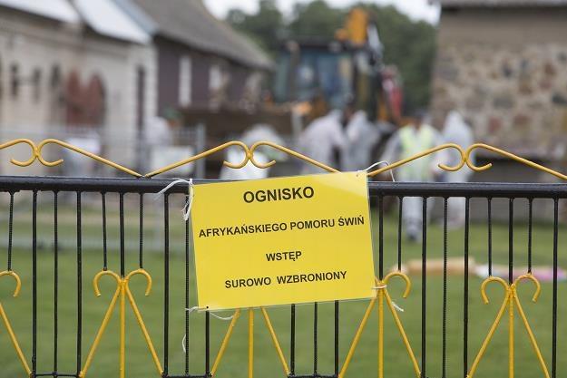 Walka z afrykańskim pomorem świń w Polsce to katastrofa. Fot. Marek Maliszewski /Reporter