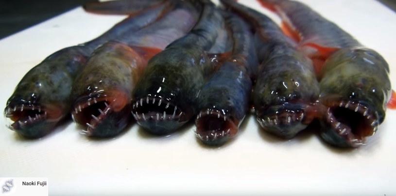 Warasubo, jest gatunkiem ryby węgorzowatej /materiał zewnętrzny