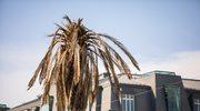 Warszawska palma odzyskała zielone liście