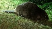 Warszawski Ekopatrol zaopiekował się bobrem - śpiochem