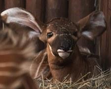 Warszawskie zoo szuka imienia dla malej antylopy