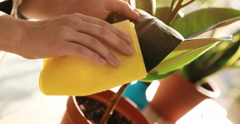 Warto regularnie oczyszczać fikusa /©123RF/PICSEL