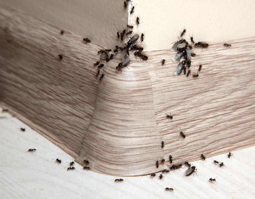 Warto rozejrzeć się po mieszkaniu i znaleźć konkretne ścieżki, którymi się poruszają mrówki /123RF/PICSEL