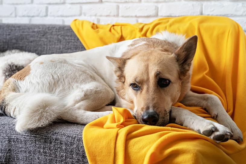 Warto zwracać uwagę na nietypowe zachowanie psa /123RF/PICSEL