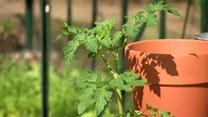 Warzywa i zioła na balkonie. Mały ogródek dla mieszkańców bloków