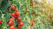 Warzywa, które warto uprawiać na balkonie