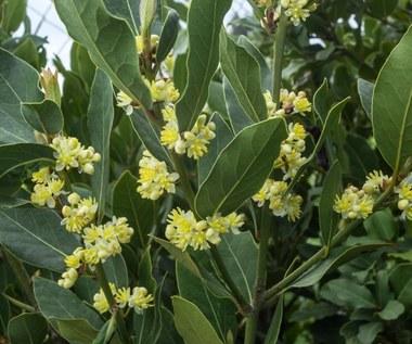 Wawrzyn szlachetny, czyli liść laurowy na odchudzanie, artretyzm i nie tylko