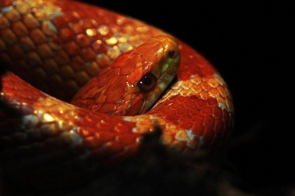 Wąż zbożowy (zdjęcie ilustracyjne) /MUSTAFA OZER /AFP
