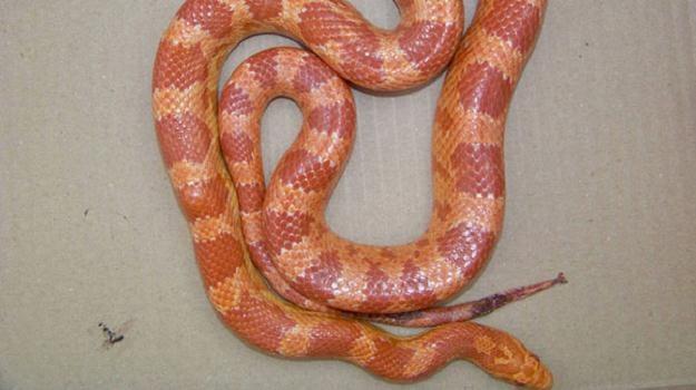 Wąż zbożowy znaleziony w przesyłce/fot. Służba Celna /RMF