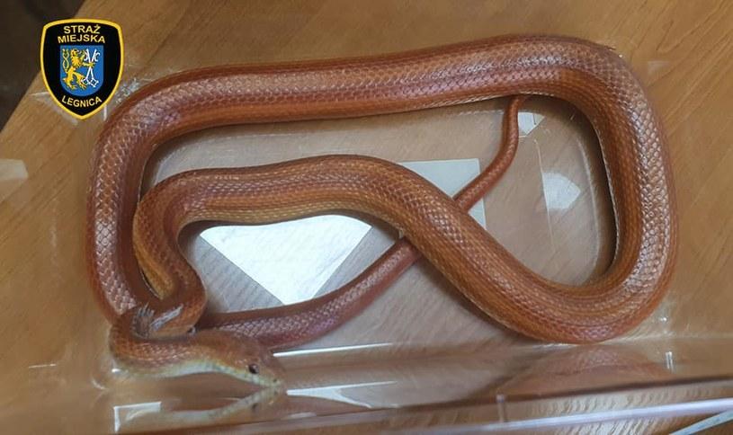 Wąż znajdował się na półce z kosmetykami /Rzecznik Prasowy Straży Miejskiej w Legnicy /facebook.com