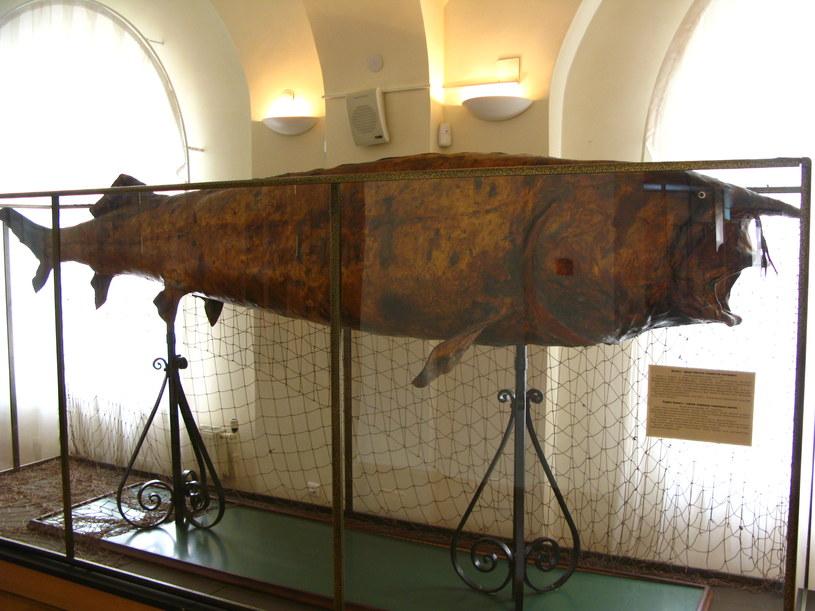 Ważąca prawie 1000 g Bieługa o długości 4,17 m. Zdjęcie wykonane w Muzeum Tatarstanu. Petar Milošević /Wikipedia