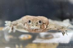 We wrocławskim zoo można podziwiać najbrzydsze żaby na świecie
