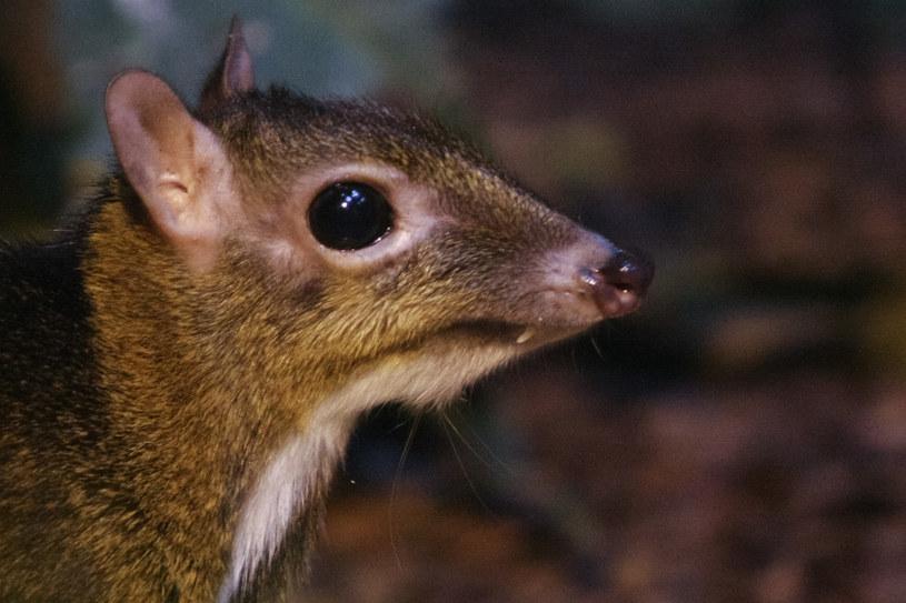 We wrocławskim zoo urodził się myszojeleń, zdj. ilustracyjne /Michal Tulinski /Agencja FORUM