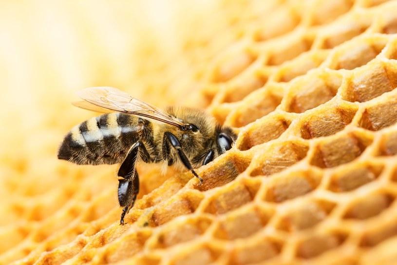 Według badaczy język pszczół może mieć swoją gramatykę /123RF/PICSEL