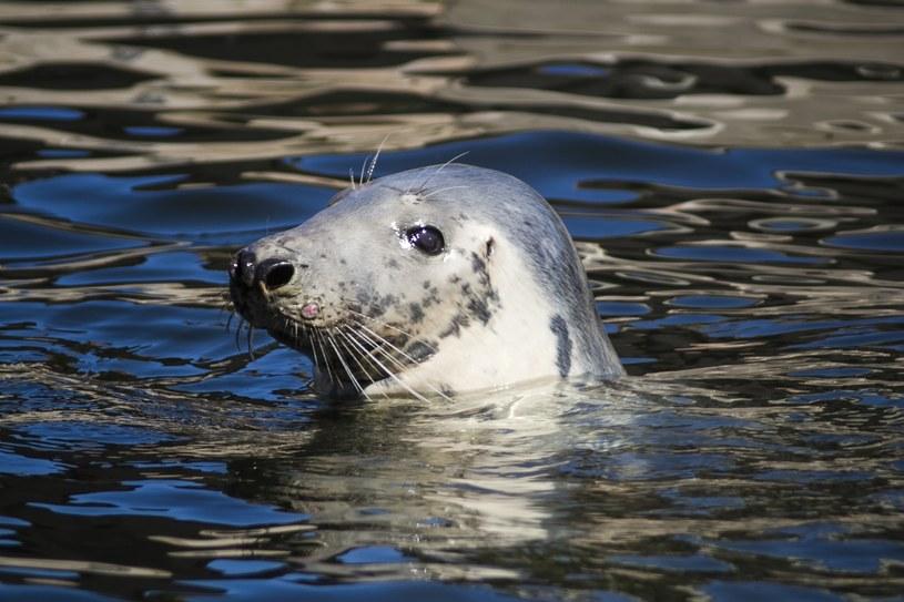 Według Stacji Morskiej w Helu do śmierci trzech fok nie przyczynił się człowiek /FREDERIC ABDOUL /East News