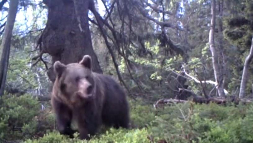 Wędrującego po lesie dorosłego niedźwiedzia brunatnego zarejestrowała wideo-pułapka w rejonie Babiej Góry w Beskidach /Babiogórski Park Narodowy /facebook.com
