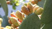 Wegańska skóra z kaktusa
