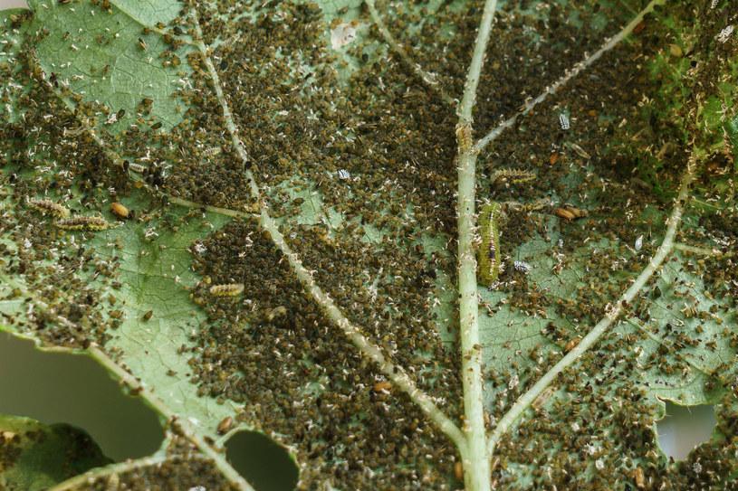 Wełnowce, mszyce i wciornastki - to najgroźniejsze owady atakujące rośliny /123RF/PICSEL