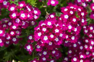 Werbena ogrodowa: Banalna w uprawie, bujnie kwitnie aż do jesieni