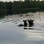Wesoła gromadka przepłynęła tuż obok łodzi. Turyści uwiecznili niedźwiedzicę transportującą młode przez jezioro
