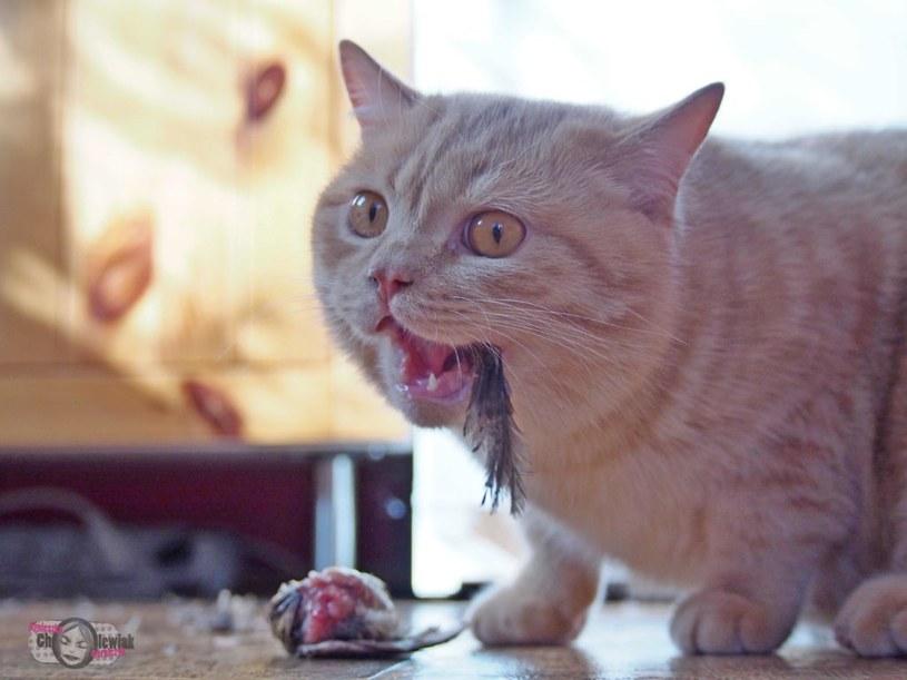 Whole prey to jedna z najzdrowszych metod żywienia psów i kotów. /autor: Agnieszka Cholewiak-Góralczyk, źródło Fundacja Barfne Korepetycje/ /INTERIA.PL