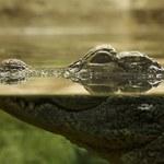 Wiadomo, dlaczego krokodyle nie zmieniły się od czasów dinozaurów