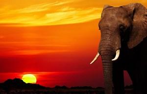 Wiadomo, dlaczego słonie nie chorują na nowotwory