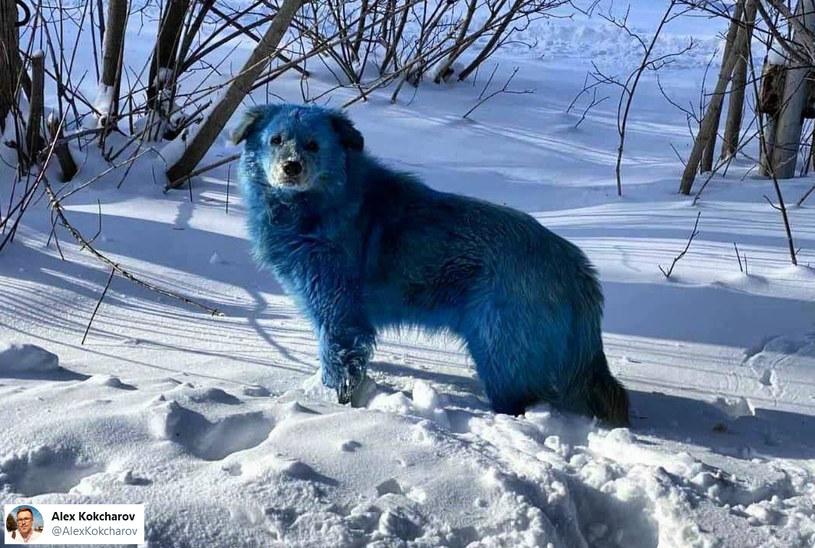 Widok niebieskich psów zaskoczył mieszkańców rosyjskiej miejscowości /Twitter/@AlexKokcharov /INTERIA.PL