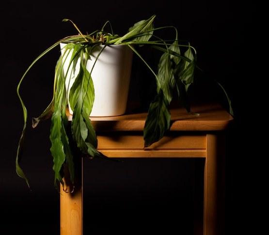 Więdnąca roślina /©123RF/PICSEL