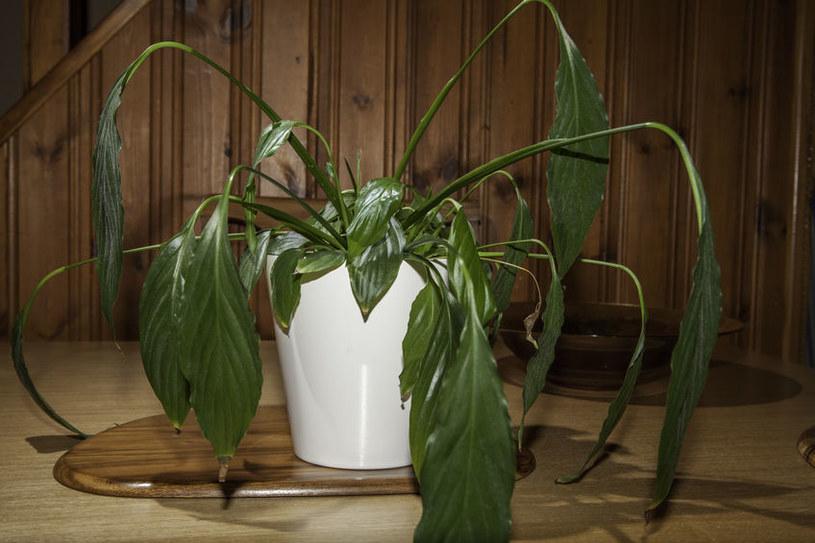 Więdnięcie rośliny /©123RF/PICSEL