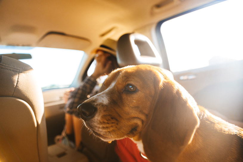 Większego psa przypnij szelkami wpinanymi do pasów bezpieczeństwa /123RF/PICSEL