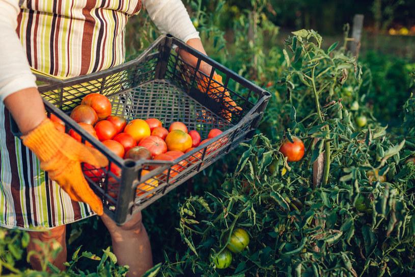 Większość warzyw preferuje gleby obojętne, ale pomidory lepiej rosną w kwaśnej /123RF/PICSEL