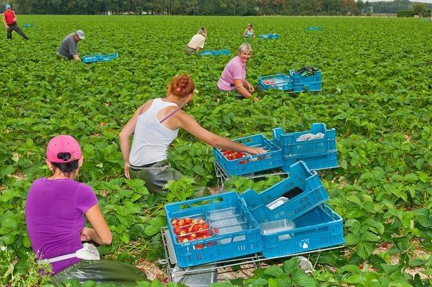 Wielak zmiana dla pracujacych przy zbiorach /©123RF/PICSEL