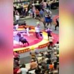 Wielbłąd uciekł z cyrkowego wybiegu. Siedem osób rannych