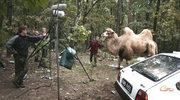 """Wielbłądy na planie """"Manny"""""""