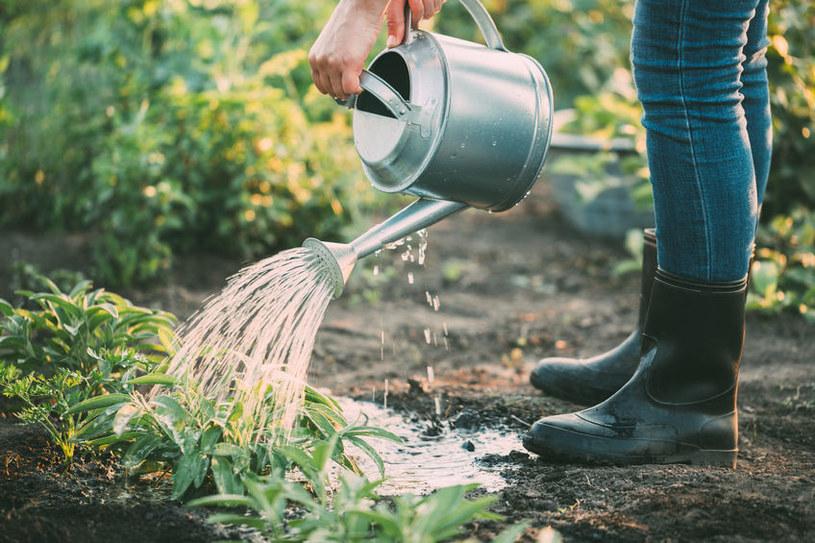 Wiele osób często zastanawia się o jakiej porze podlewać rośliny latem /123RF/PICSEL