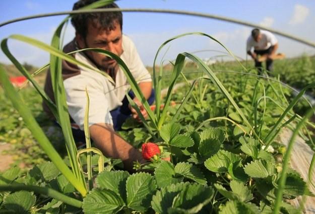 Wiele osób nie rejestruje swojej pracy sezonowej, pomimo czerpania z niej korzyści finansowych /AFP