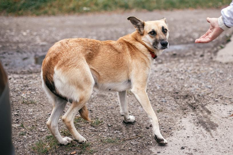 Wiele psów nie jest gotowych na kontakt z obcymi ludźmi /INTERIA.PL