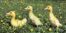 Wielka Brytania: Kobieta wykluła trzy kaczuszki z jajek kupionych w supermarkecie