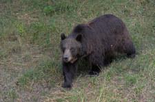 Wielka Brytania: Niedźwiedzie wydostały się z wybiegu, zaatakowały dzika. Zostały zastrzelone