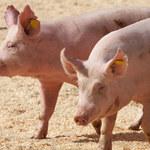 Wielka Brytania: Niewystarczająca liczba rzeźników. Zabito i wyrzucono już 6 tys. świń