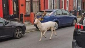 Wielka Brytania: Policja zastrzeliła białego jelenia