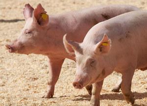 Wielka Brytania: Problemy w hodowlach świń. Zabito zdrowe zwierzęta