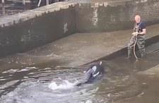 Wielka Brytania. Wieloryb utknął w Tamizie. Pomogli mu ratownicy