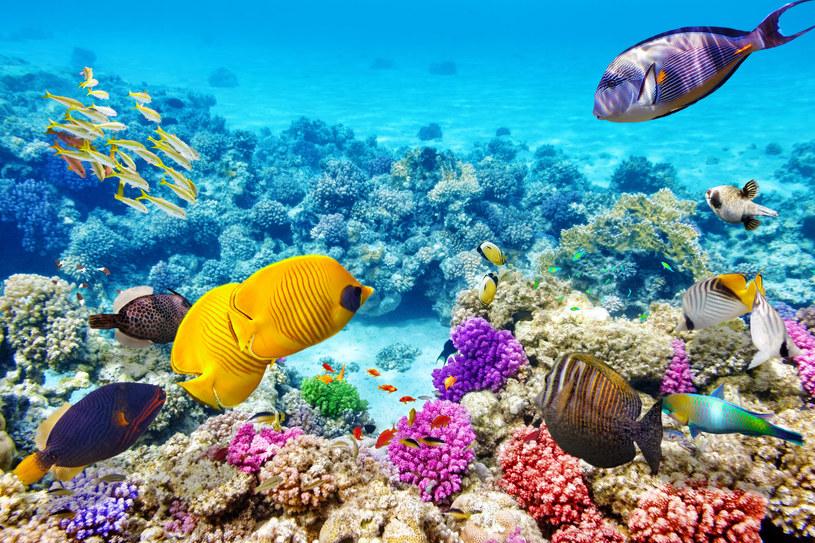 Wielka Rafa Koralowa to największa na świecie rafa koralowa, położona wzdłuż północno-wschodnich wybrzeży Australii /123RF/PICSEL