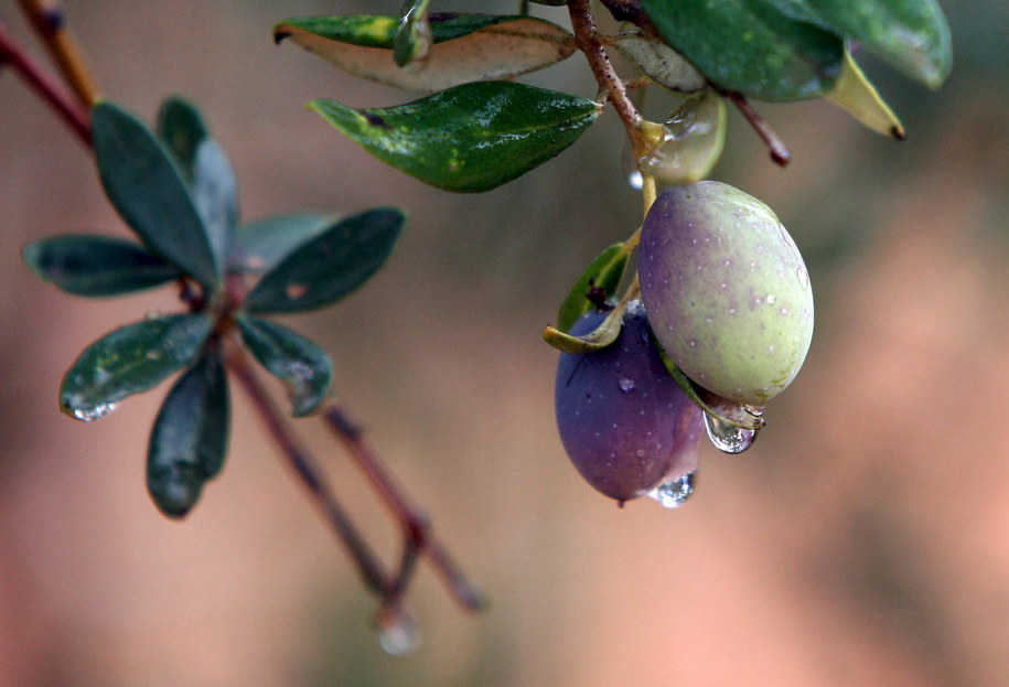 Wielka, włoska operacja ws. oliwek /JAMAL NASRALLAH /PAP/EPA