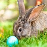 Wielkanoc 2021: Zając wielkanocny. Nieliczni wiedzą, co tak naprawdę symbolizuje!
