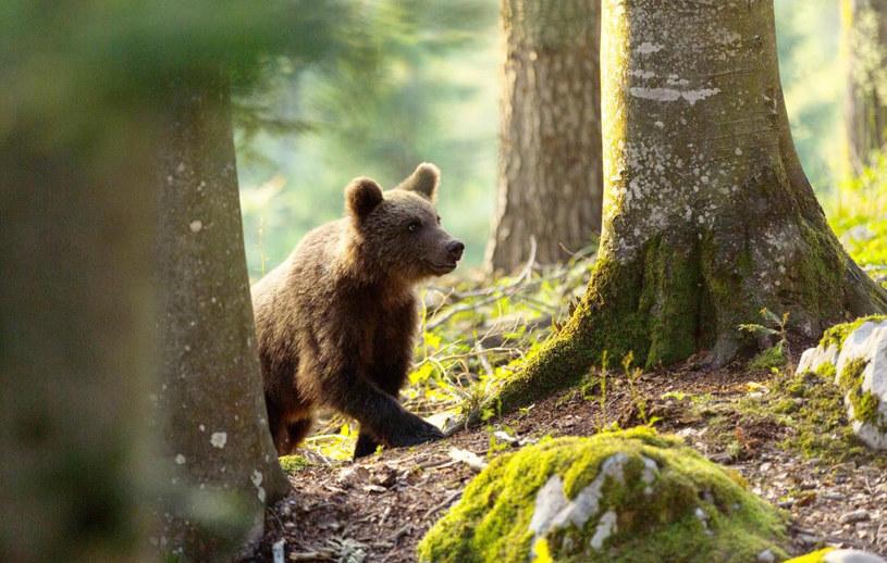 """""""Wielki powrót niedźwiedzi"""" /@ZDF /materiały prasowe"""